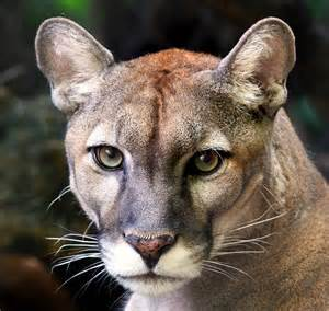 Jaguar In Florida Florida Panther Only 80 To 100 Panthers Still Remain In