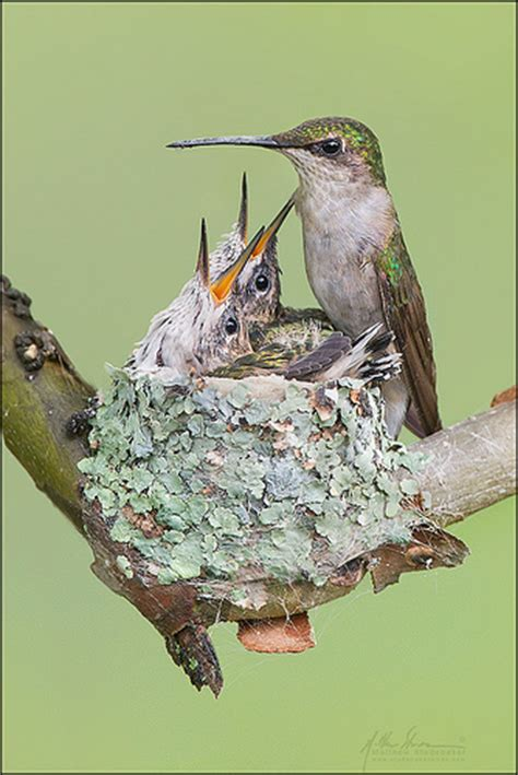 ruby throated hummingbird nest 9 1 flickr photo sharing