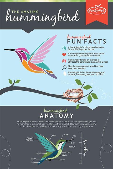 hummingbird infographic hummingbird facts pinterest