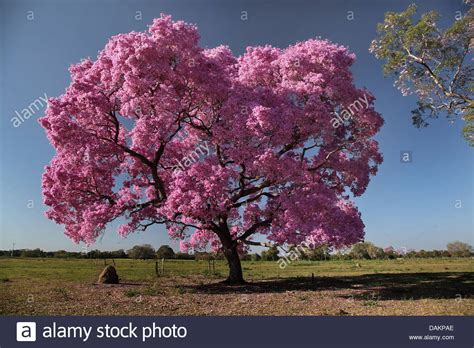 pink and purple tree pau d arco pink lapacho pink ipe purple tabebuia