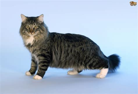tend to five breeds of cats that tend to get on well with dogs