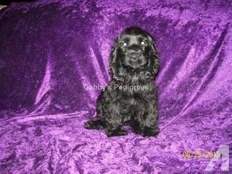 cocker spaniel puppies for sale in ca akc cocker spaniel puppies for sale in riverside california classified