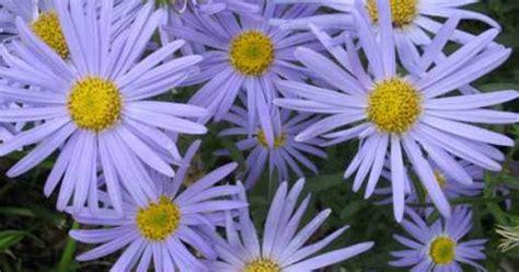 japanese aster plant blue star flowers summer thru fall