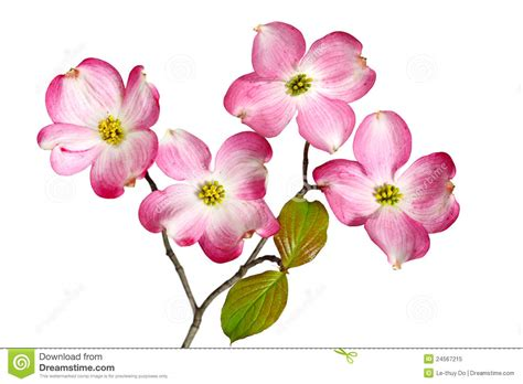 pink white dogwood flowers stock photos image 24508523