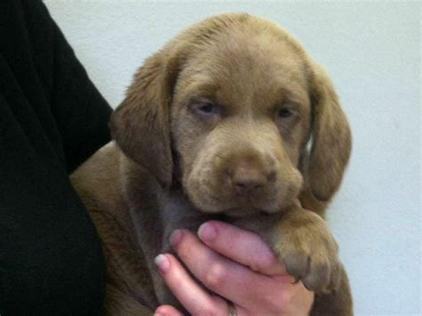 puppies for sale in lake charles la akc puppies for sale near beaumont akc marketplace