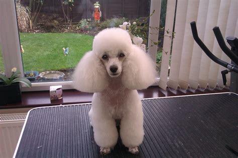 poodle with plain hair cut poodle lamb cut photo menduh thaci ali ahmeti photo