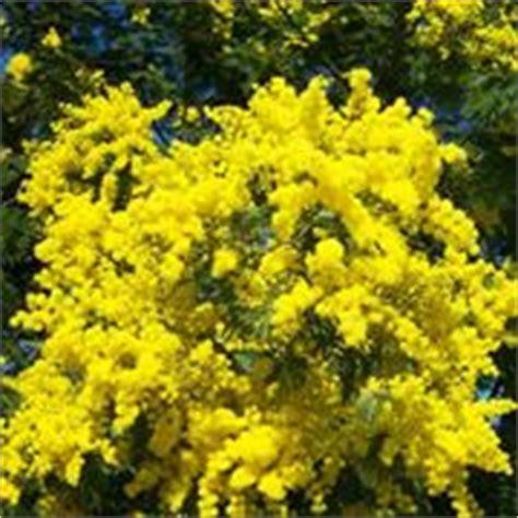 pianta mimosa in vaso la mimosa acacia dealbata acacia dealbata piante da