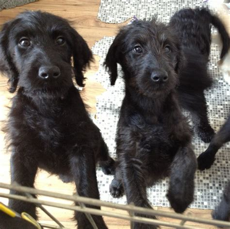 f1 labradoodle puppies for sale labradoodle puppies f1 beautiful faversham kent pets4homes