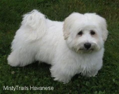 grooming havanese dogs havanese grooming photos