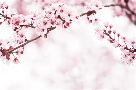 cherry blossom pictures cherry blossom pictures images and stock photos istock