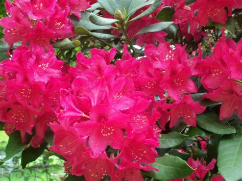 state flower of virginia rhododendron west virginia state flower west virginia