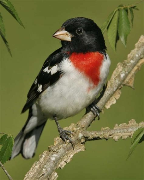 creation rose breasted grosbeak fellowship of the minds