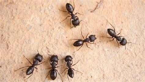 fourmis dans la maison fourmis charpenti 232 res comment se d 233 barrasser d une