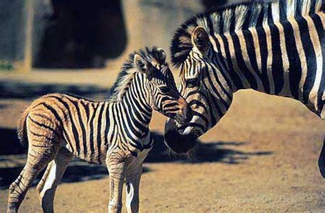Baby Zebra baby zebra wallpapers baby animals