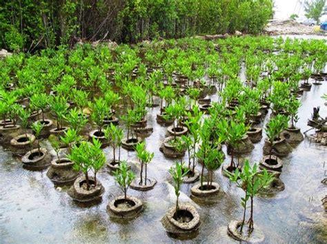 Bibit Mangrove proyek mangrove dishut simalungun 2015 diduga fiktif
