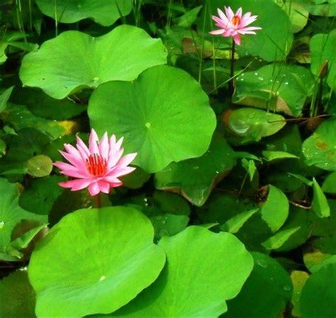 Pupuk Untuk Bunga Teratai teratai capensis pink jual tanaman hias