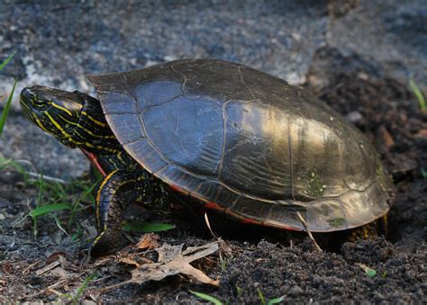 all of nature painted turtle lays eggs