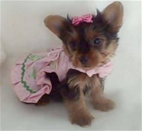 yorkie puppies for sale in nd pets jamestown nd free classified ads