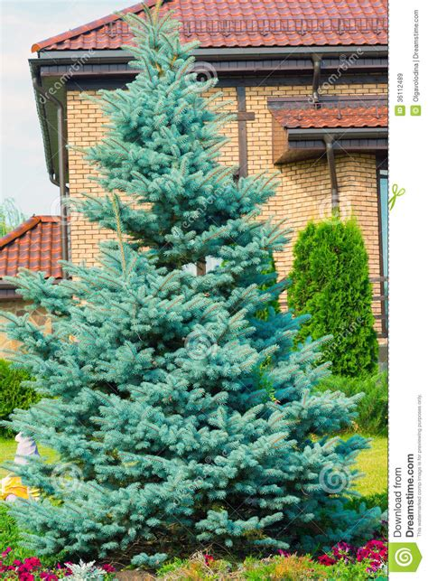 blue spruce near cottage royalty free stock images image