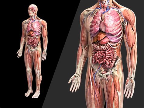 Human Anatomy zygote 3d poly model collections