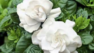 which plant is most fragrant fragrant plants