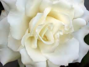White Flower Images by Flowers White Roses