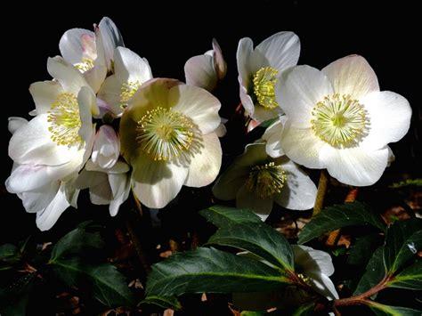 fiori autunnali matrimonio rosa di natale elleboro foto pollicegreen