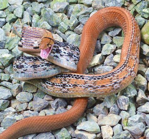 copper colored snake copperheaded racer snake non venomous not dangerous