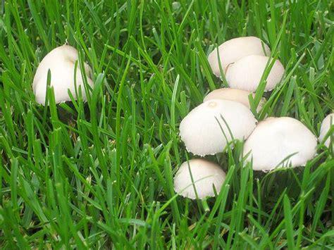 Pilze Im Gartenrasen by Hutpilze 187 Rollrasen M 252 Nchen