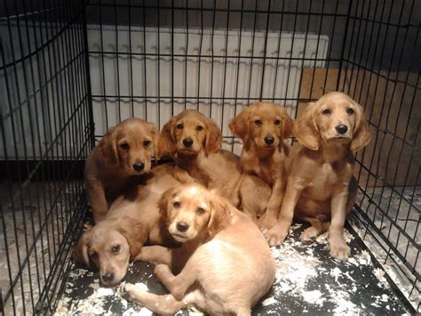 golden cocker retriever uk golden retriever x cocker puppies updated gloucester gloucestershire pets4homes