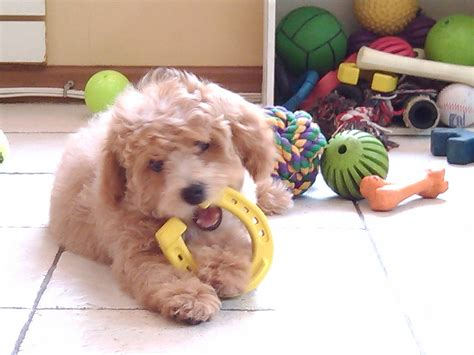 puppy biting stage school new york how to survive puppy teething biting