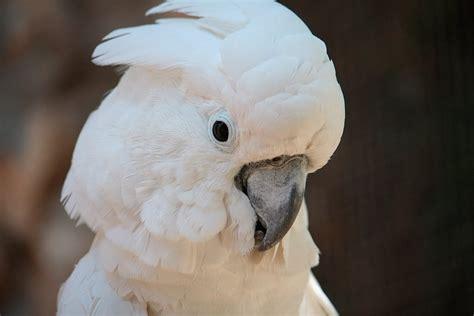imagenes de tortolas blancas cacat 250 a blanca cacatua alba aves ex 243 ticas mascotas