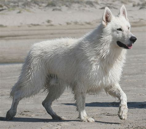 white shepherd about the breed berger blanc suisse