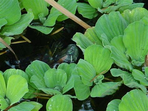 My So Called Pond Life: Turtles Red Eyed Slider & Painter