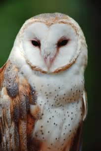 barn owl god is in the compost pile molly the owl