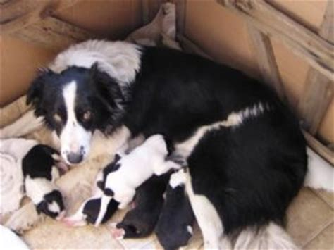 border collie puppies idaho border collie puppies in idaho
