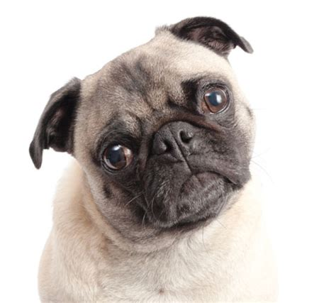 what country do pugs come from the big deal about small breeds country brook