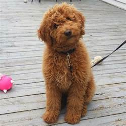 mini doodle cavapoo 25 best ideas about mini goldendoodle on mini