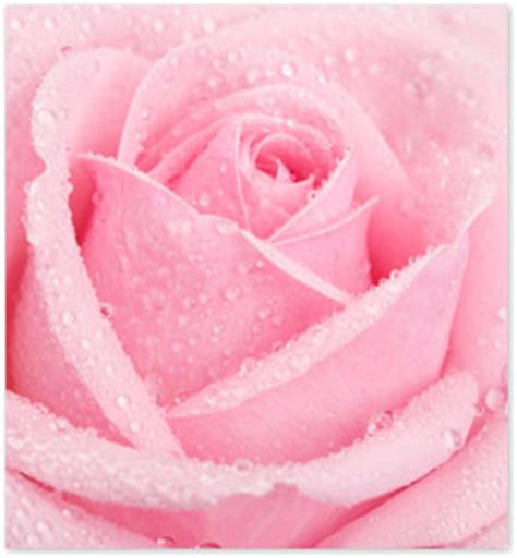 natural skin care 9 ways to use rose water for beautiful skin rose water uses archives dreamorganics com