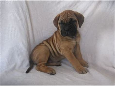 brindle bullmastiff puppies for sale bullmastiff puppies for sale beatiful brindle and bullmastiff