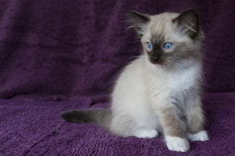 ragdoll of pudsey five stunning bred ragdoll kittens for sale pudsey