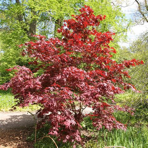 buy japanese maple acer palmatum bloodgood delivery by crocus