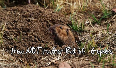 how to get rid of a gopher in my backyard a story on how not to get rid of gophers lane forest