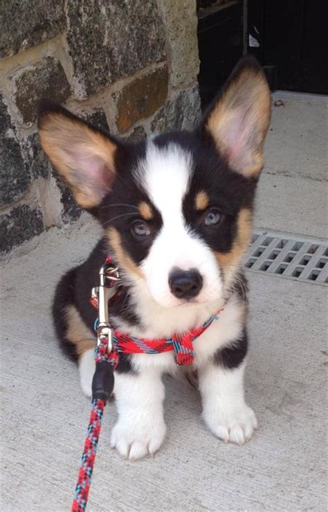 yorkie corgi mix for sale corgi husky mix for sale pembroke corgi puppies for dogs breeds picture