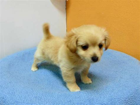 pomeranian chiuaua mix pomeranian chihuahua mix los angeles pico rivera dogs puppies for sale puppies