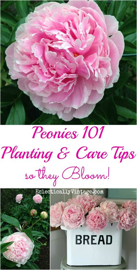 how to plant peonies so they bloom