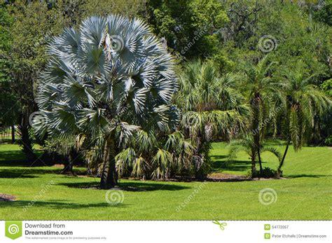 Florida Botanical Gardens Ta Bismark Palm Name Bismarckia Nobilis Stock Image Image 54772057