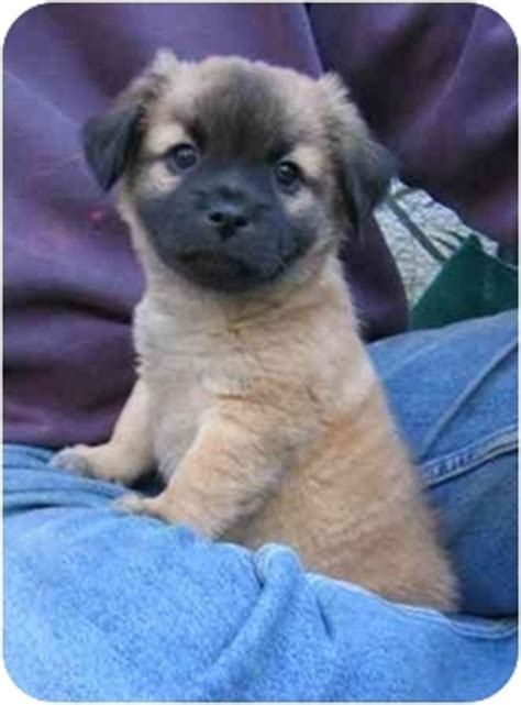 pug and pomeranian mix puppies pug pomeranian mix dogs images frompo
