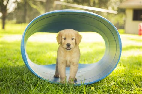 golden retriever puppy guide 5 facts about the golden retriever temperament rover
