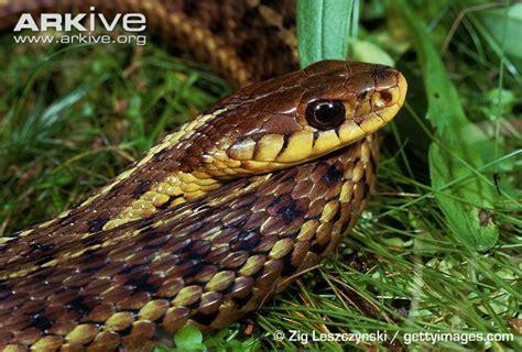 Garter Snake Habitat Common Garter Snake Photo Thamnophis Sirtalis G83133